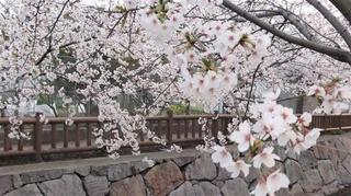 桜3JPG.jpg